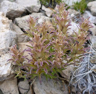 dwarf alpine paintbrush