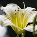 Daylily by rich_rogero