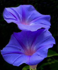 Blue Morning Glory (Ipomoea indica)