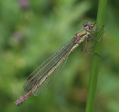 Emerald Damselfly Lestes sponsa Tophill Low NR, East Yorkshire August 2014