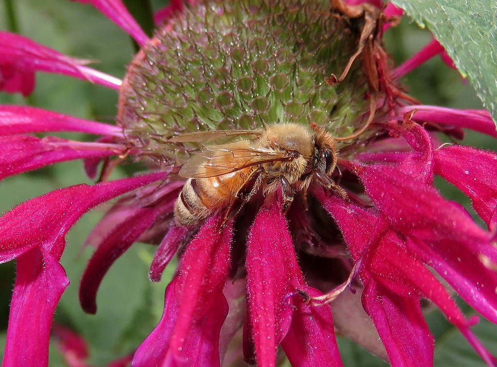 Honey Bee Macro taken with a Canon PowerShot SX700 HS IMG_0026