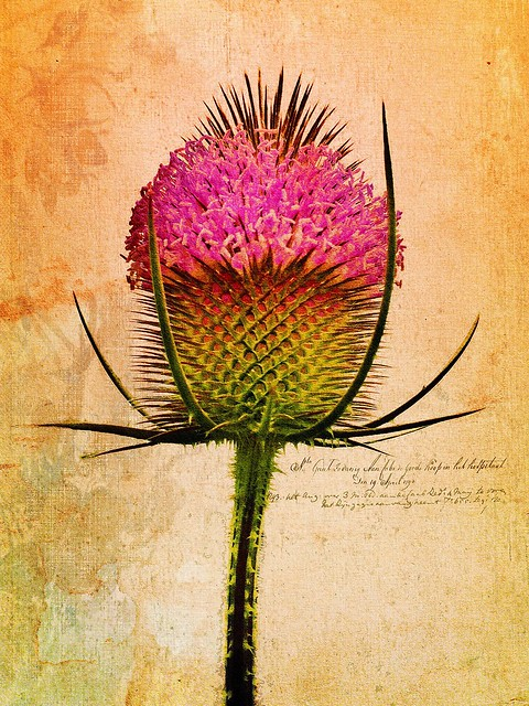 The Teasel