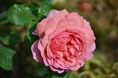 "Rose ""Princess Alexandra of Kent"""