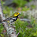 paruline a gorge noire / black-throated green warbler