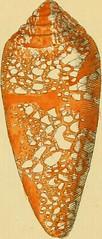 """Image from page 18 of """"G. W. Knorrs Verlustiging der oogen en van den geest ; of Verzameling van allerley bekende hoorens en schulpen, die in haar eigen kleuren afgebeeld zyn"""" (1771)"""