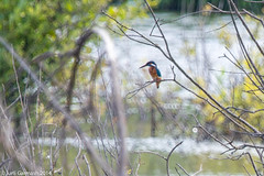 Kingfisher on a watch