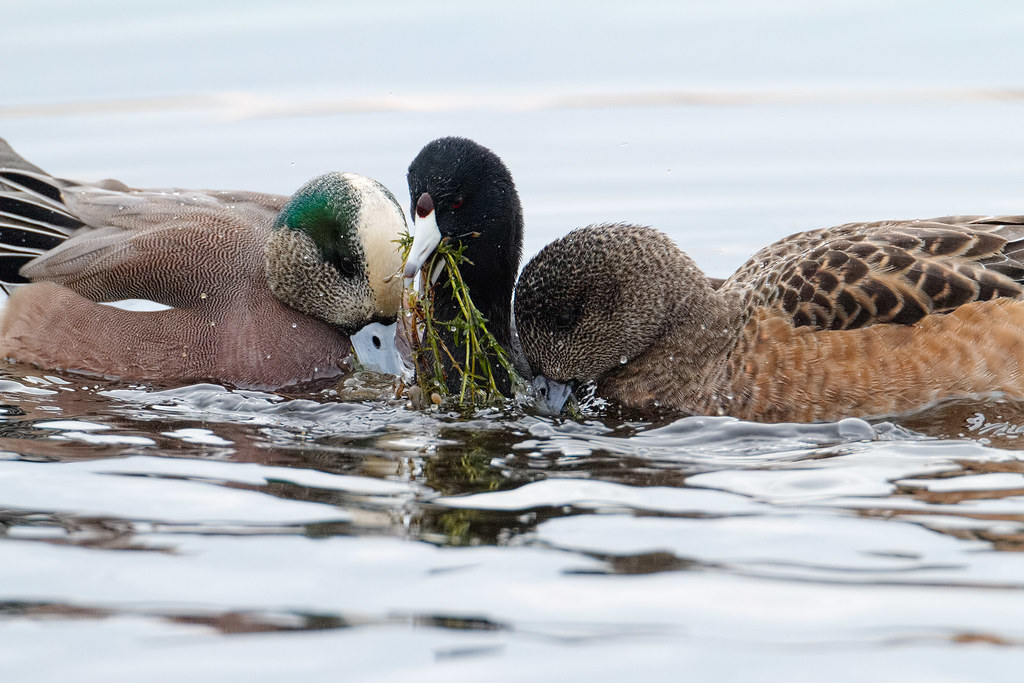 A male and female American wigeon pair eat the plants an American coot has brought to the surface