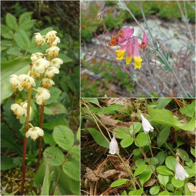 shinleaf, pink corydalis, twinflower