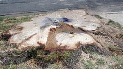 Big Tree_1657a