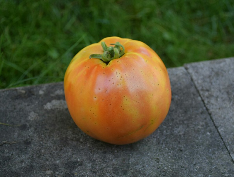 Tomato with blight. Red Duece hybrid