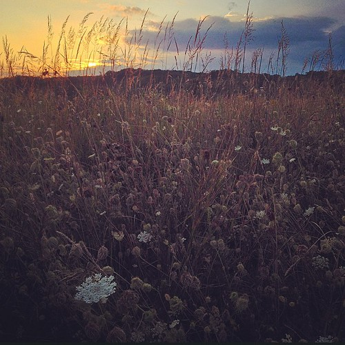 flowers sunset nature field square landscape squareformat delaware queenanneslace brandywinecreekstatepark iphoneography instagramapp uploaded:by=instagram iphone4s