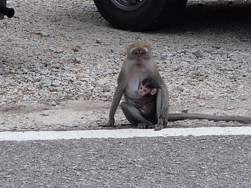 Malaisie-macaque