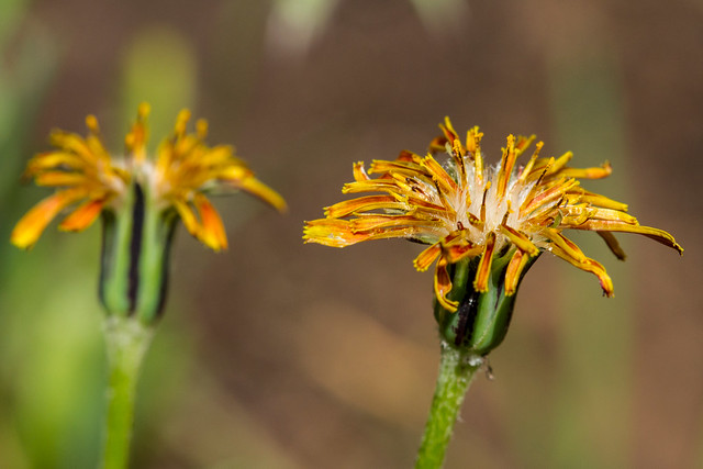 Header of Agoseris aurantiaca