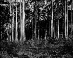 Spotted gums and burrawangs