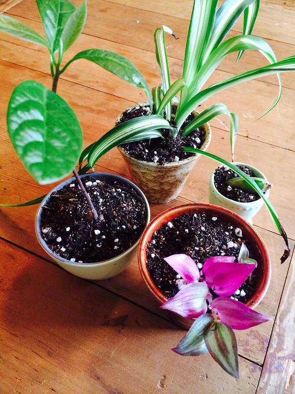 Avocado, Spider, Succulent, Wandering Jew