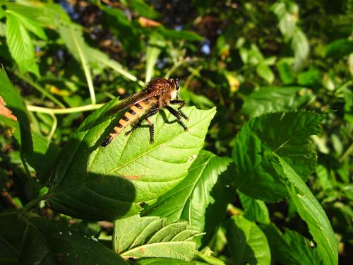 Robber Fly - Genus Promachus