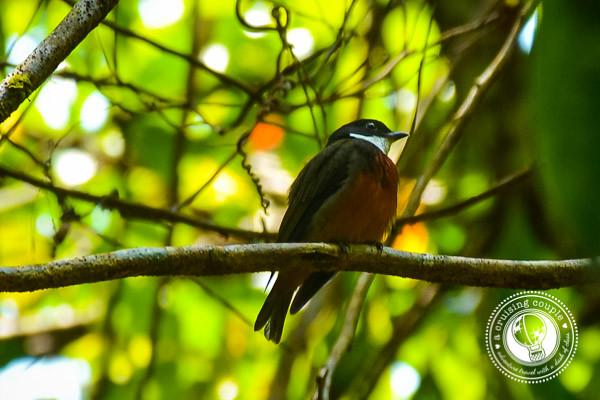 Bird Brazilian Amazon