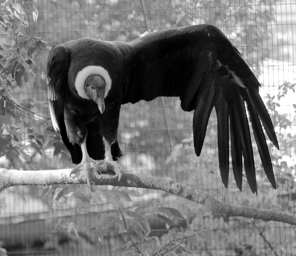 Andrean Condor (Vultur gryphus)_3