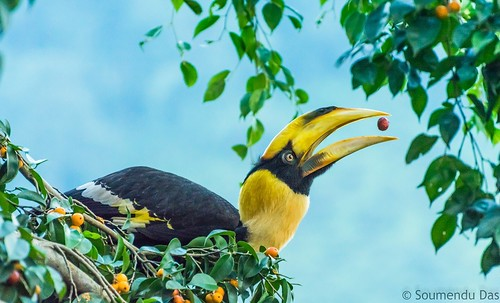 indianbirds indianavifauna birdsofindia nikond5200 nikon nikkor70300 lightnshade hornbillsofindia mahanandawildlifesanctuary soumendudas siliguribirds naturallight
