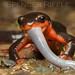 Taricha rivularis (Red-bellied Newt) by Spencer Dybdahl Riffle