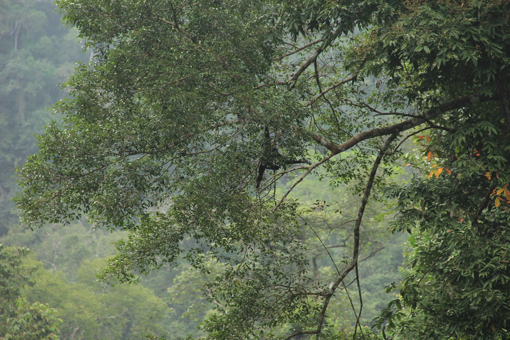 Howler monkey, Khao Sok National Park