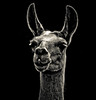 Llama Light  (Explored Apr 22, 2014) by creativegaz