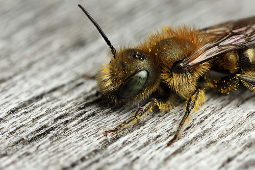 My favourite bee Osmia caerulescens #2