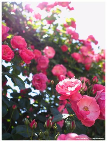 Rose 140528 #05