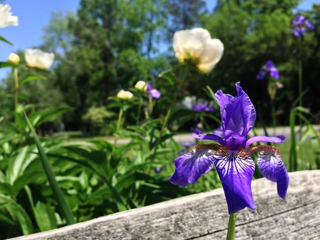 Iris and Peonies