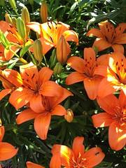 orange hardy lillies