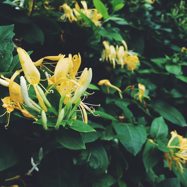 jasmine growing wild