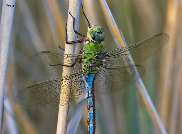 Long Lives the EMPEROR (Dragonfly)