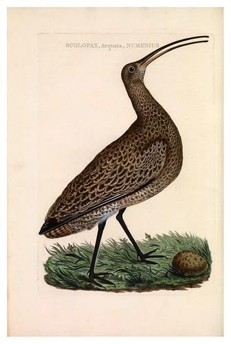 004-Alcaravan manchado- Nederlandsche vogelen- Nationale bibliotheek van Nederland