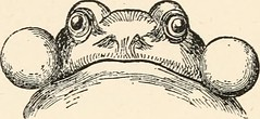 "Image from page 131 of ""Our reptiles and batrachians; a plain and easy account of the lizards, snakes, newts, toads, frogs and tortoises indigenous to Great Britain"" (1893)"