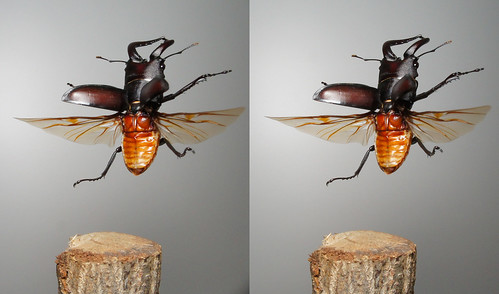Prosopocoilus inclinatus, stereo parallel view
