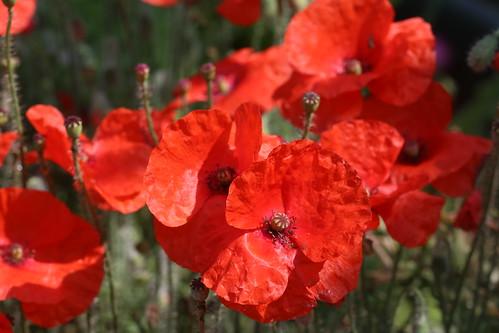 Garden poppies