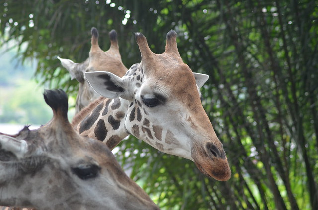 Singapore Zoo 2014 592
