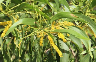 Acacia auriculiformis leaf and flower