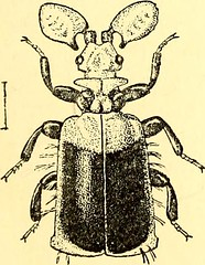 """Image from page 504 of """"Coleoptera : general introduction and Cicindelidae and Paussidae"""" (1912)"""