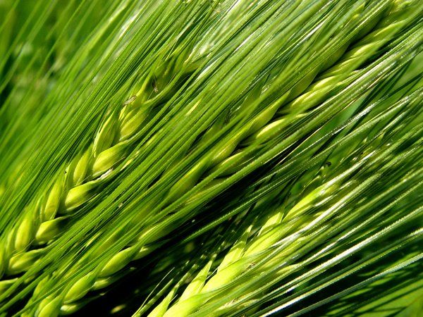 green-barley