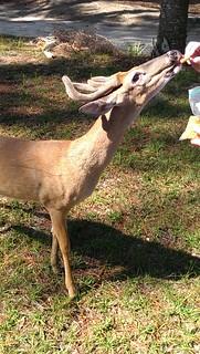 Vishus deer