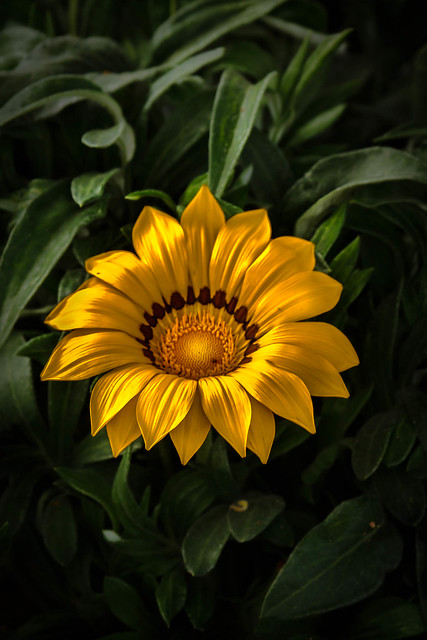 Yellow Gaznia