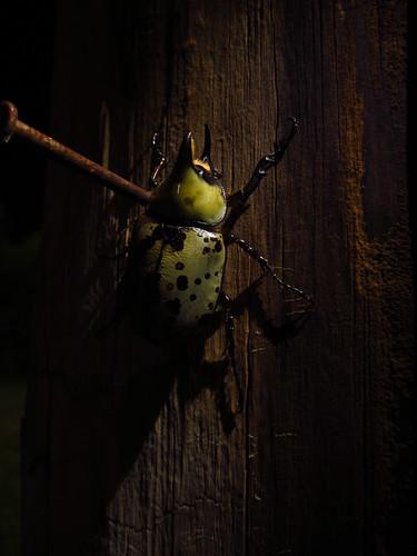 Eastern Hercules Beetle, Dynastes tityus #3