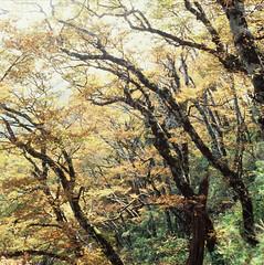 秋天的台灣山毛櫸由綠轉黃,把森林染成一片金黃。(攝影:傅金福攝影;林務局提供)