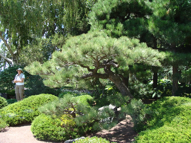 Photo:Ponderosa pine at Denver BG By iagoarchangel
