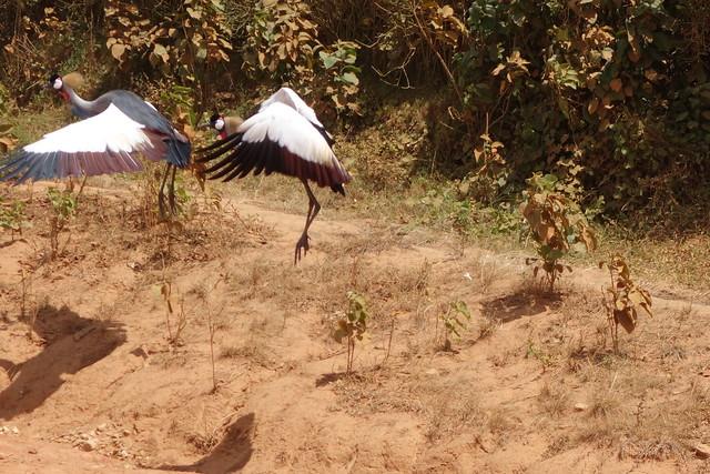 140624 Grey Crowned Crane (3)