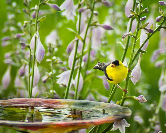 American Goldfinch, Goldfinch, Flowers, Bird Bath, Yellow
