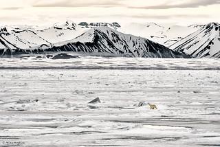 Polar Bear (Ursus maritimus) in a monochrome world