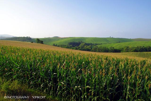 デントコーン畑1