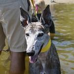 Greyhound Adventures at Horn Pond, Woburn MA, Aug 10th 2014